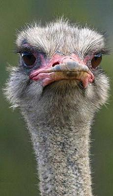 Timothy, a young ostrich considers just how small his eyes really are.